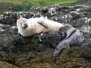 jeune phoque gris et sa mère