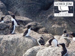 Pingouin Torda sur les Iles Scilly