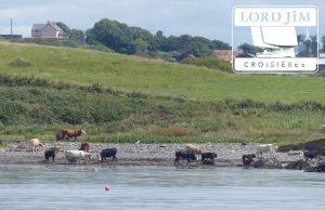 Les vaches iralndaises à la plage